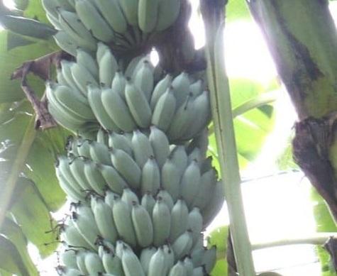 Banana-Blue-Java